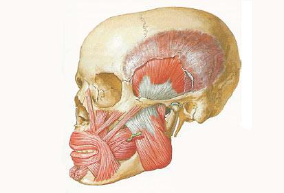 musculos para vocalizar